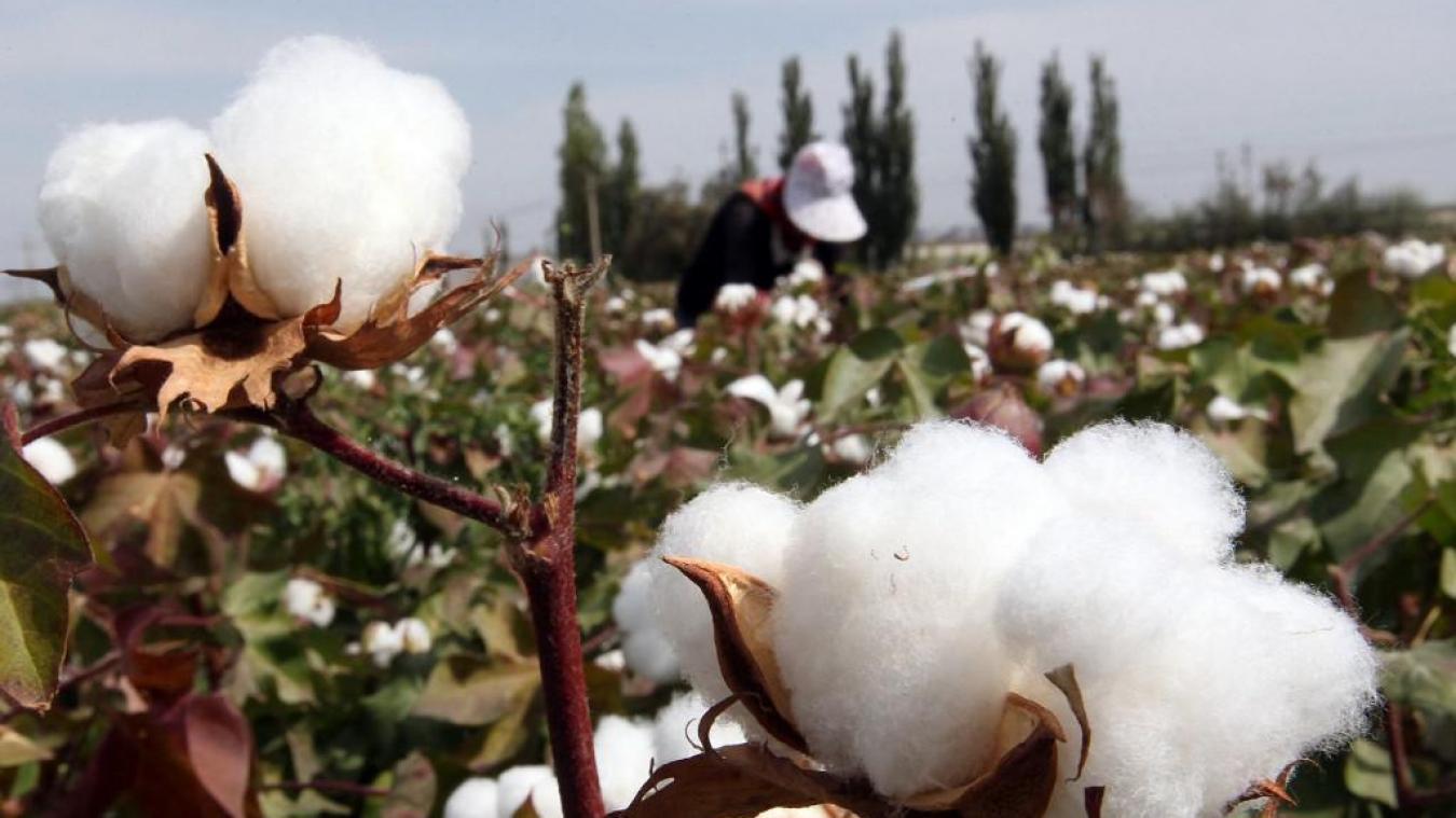 Chine : Plus d'un demi-million de Ouïghours enrôlés de force dans les champs de coton au Xinjiang